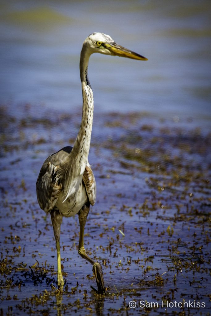 Heron in the Gulf