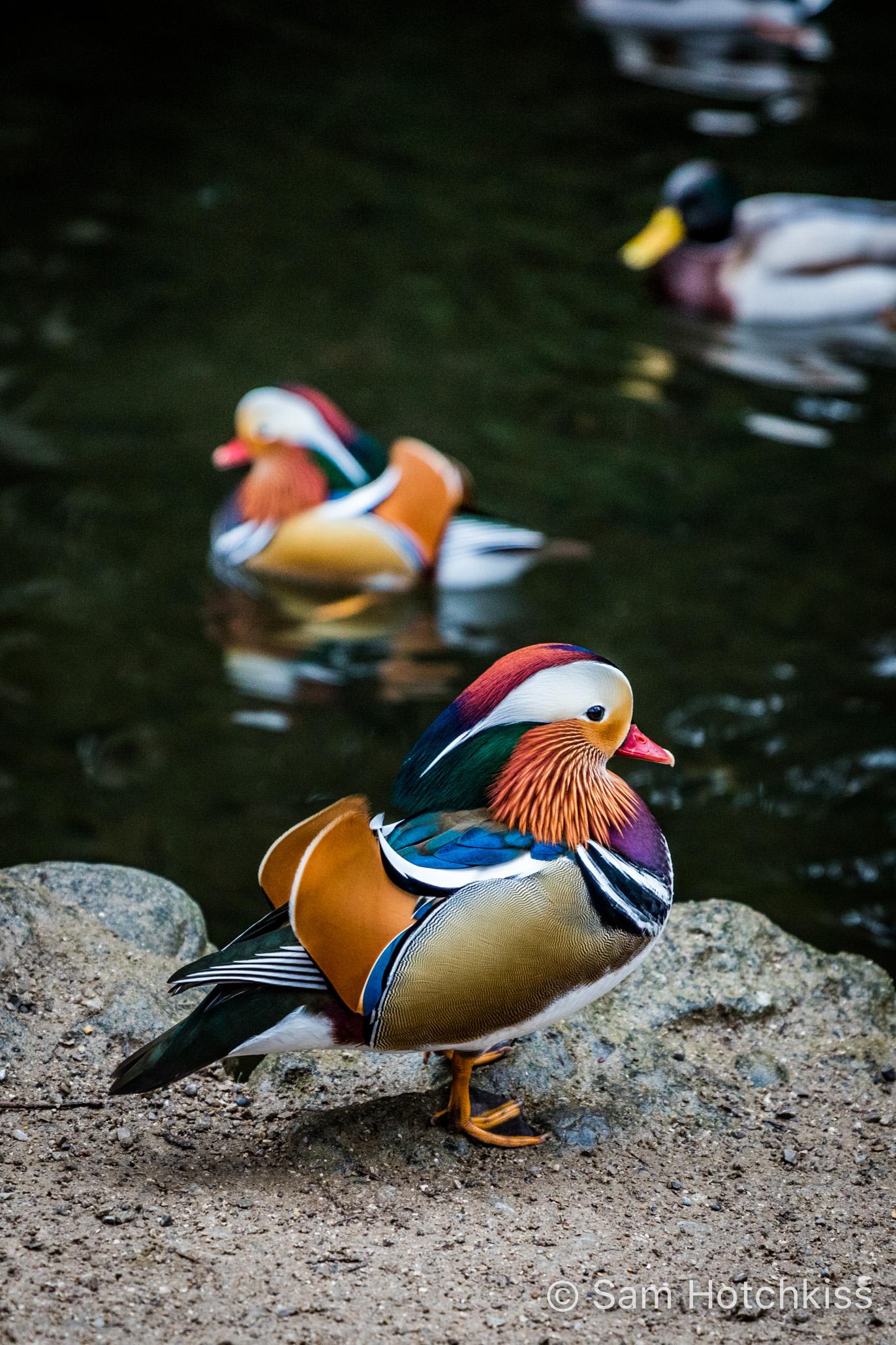Mandarin Duck, Munich