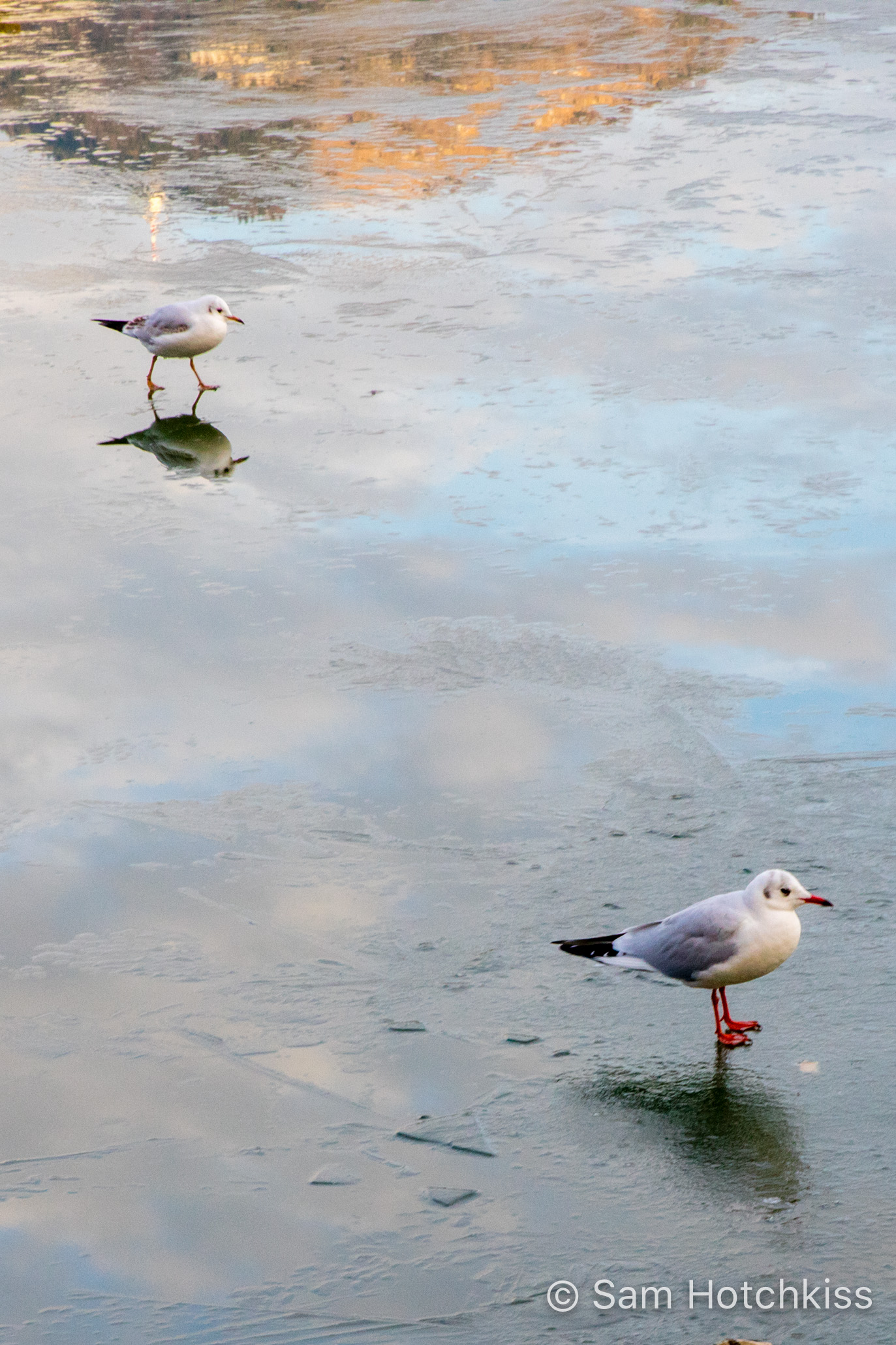 Seagulls on a Frozen Lake, Salzburg